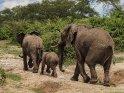 Elefanten mit einem Jungtier