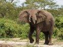 Elefant mit angehobenem Rüssel