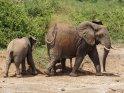 Elefanten bei einer Staubdusche