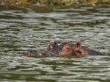 Abgetauchtes Flusspferd