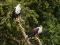 Schreiseeadlerpaar    Dieses Motiv finden Sie seit dem 28. August 2015 in der Kategorie Queen Elizabeth Nationalpark.