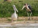 Pelikan und Marabu am Ufer