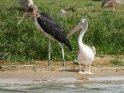 Pelikan dreht sich zu einem vorbeigehenden Marabu um.