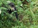 Gorilla im hohen Gestrüpp