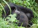 Sitzender Gorilla mit dicken Bauch