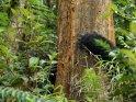 Gorilla steht hinter einem Baum und umschlingt diesen mit seinen Armen.
