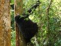 Gorilla klettert an einem Baum herum