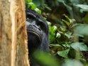 Gorilla schaut an einem Baumstamm vorbei
