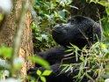 Gorilla schaut sich genüsslich einen Baumstamm an