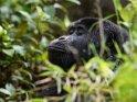 Berggorilla mit geschlossenen Augen