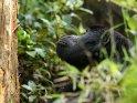 Seitliches Portrait eines Berggorillas