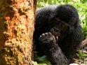 Gorilla liegt neben einem Baumstamm