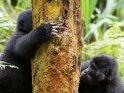 Zwei Gorillas mit einem Baum