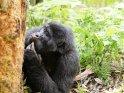 Berggorilla betrachtet einen Baumstamm
