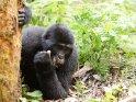 Gorilla kratzt sich im Gesicht