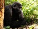 Liegender Berggorilla stützt sich auf den Ellenbogen ab