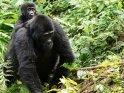 Gorillababy auf dem Rücken seiner Mutter