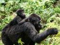 Ein Gorillababy reitet auf dem Rücken seiner Mutter