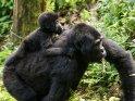 Gorillababy reitet auf dem Rücken seiner Mutter