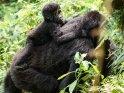 Babygorilla auf dem Rücken seiner Mutter