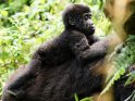 Einjähriger Babygorilla auf dem Rücken seiner Mutter