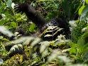 Babygorilla lässt sich mit niedlichem Gesichtsausdruck auf den Rücken fallen.