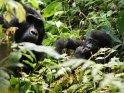 Gorillababy mit seiner Mutter