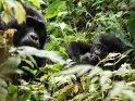 Babygorilla mit seiner Mutter