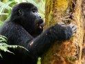 Gorilla macht sich über die Rinde eines Baumes her.