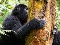 Gorilla hält sich an einem Baumstamm fest und isst genüsslich dessen Rinde auf.