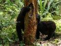 Zwei Gorillas mit einem Baumstamm