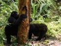 Zwei Gorillas beim Ernten der Rinde eines Baumes