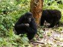 Zwei Berggorillas beim Verspeisen von Baumrinde
