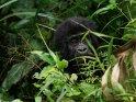 Gorillababy fasst sich mit einem Finger an den Mund