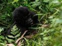 Einjähriges Gorillababy