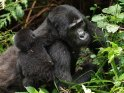 Gorilla-Baby klettert auf den Rücken seiner Mutter