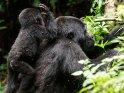 Babygorilla auf dem Rücken seiner Mutter will sich an den Kopf fassen