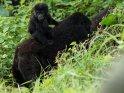 Einjähriger Gorilla lässt sich von seiner Mutter transportieren.