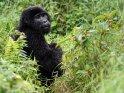 Gorilla dreht sich zur Kamera um