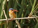 Malachiteisvogel (Haubenzwergfischer)