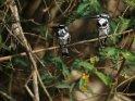 Zwei Graufischer sitzen nebeneinander auf einem Zweig
