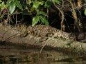 Junges Kokodil auf einem Baumstamm