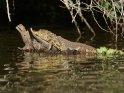 Junges Krokodil auf einem Baumstamm