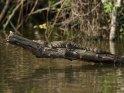 Junges Krokodil sonnt sich auf einem Ast über dem See