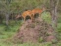 Zwei Buschböcke auf einem Termitenhügel