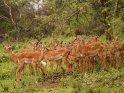 Eine Herde Impalas sucht bei Regen Schutz unter einem Baum.