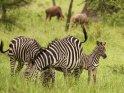Zebras    Dieses Motiv finden Sie seit dem 31. August 2016 in der Kategorie Lake-Mburo Nationalpark.