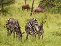 Kuschelnde Zebras    Dieses Motiv ist am 19.09.2017 neu in die Kategorie Lake-Mburo Nationalpark aufgenommen worden.