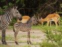 Zebra mit einem Fohlen und kämpfenden Impalas im Hintergrund