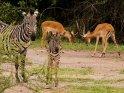 Junges Zebra mit seiner Mutter und kämpfenden Impalas im Hintergrund
